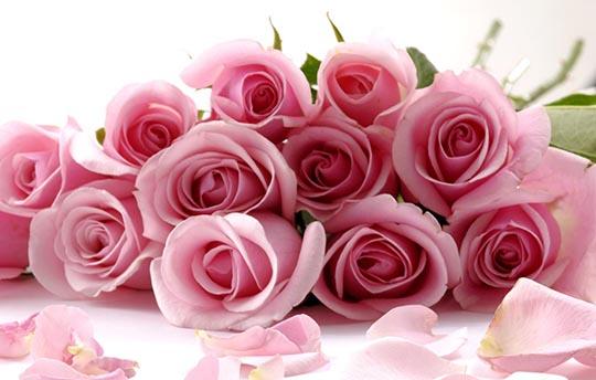 roses-rose