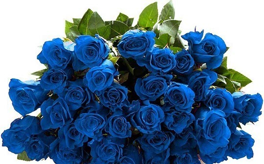 roses-blue